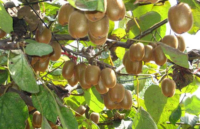 猕猴桃树嫁接技术图片