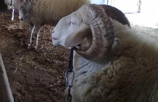 小尾寒羊适合在哪里养?