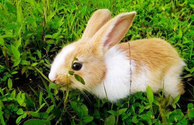 兔子吃什么食物