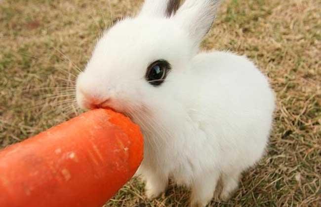 熊猫兔怎么养