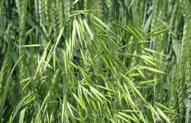 血钻野燕麦是真的吗