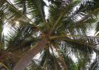 椰子树品种图片大全