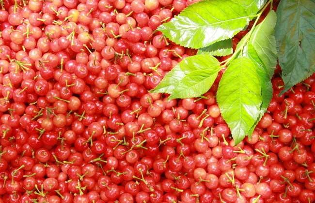 樱桃树苗种植技术
