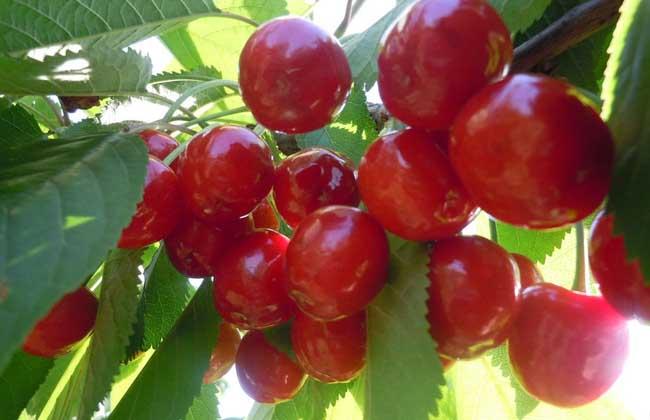 樱桃树修剪技术