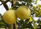 柚子能降血糖吗?