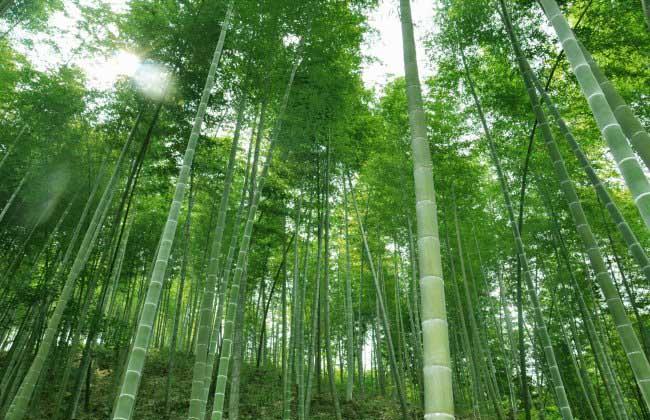 竹子是树还是草
