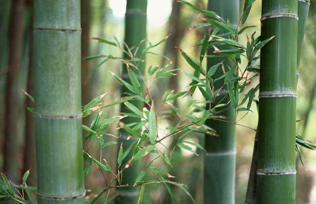 竹子的文化寓意