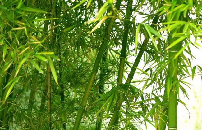 竹子的种类大全