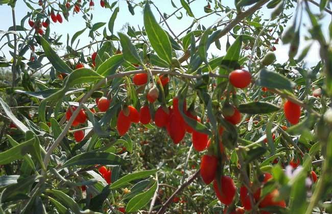 枸杞树高产栽培技术