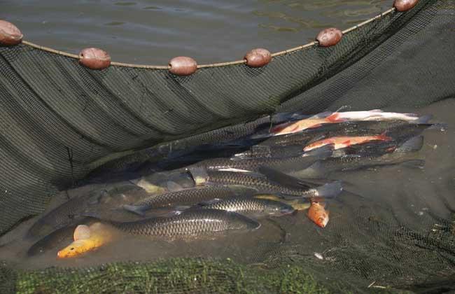 草鱼和鲤鱼的区别