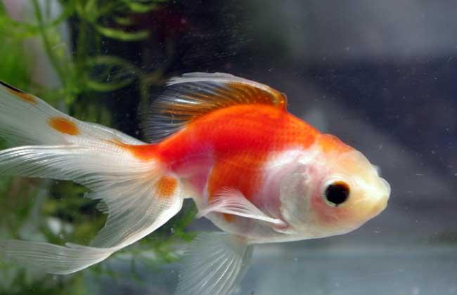 金鱼养几条风水好?