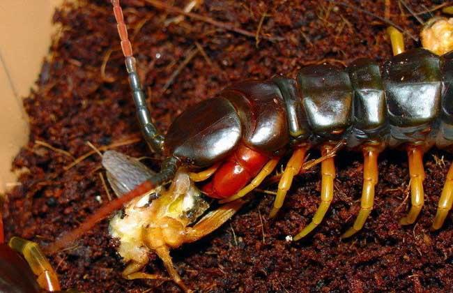 亚马逊巨人蜈蚣