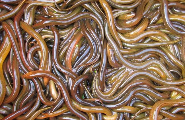 黄鳝每亩产多少斤