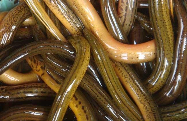 黄鳝人工繁殖技术
