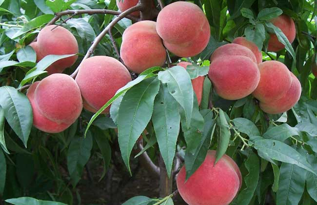 桃树的种植条件