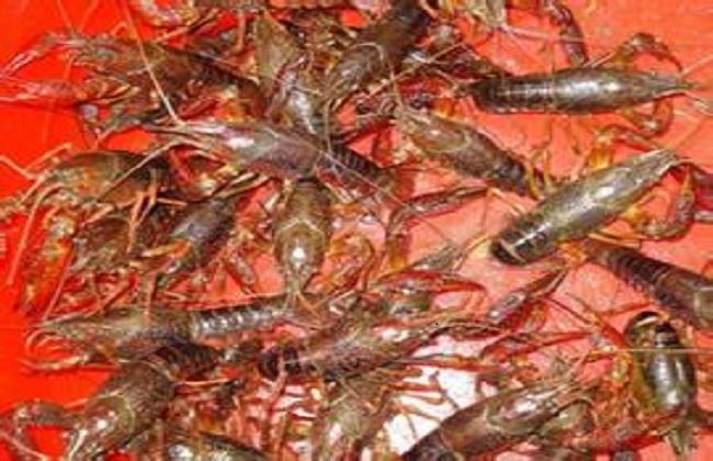 养20亩龙虾可赚多少钱