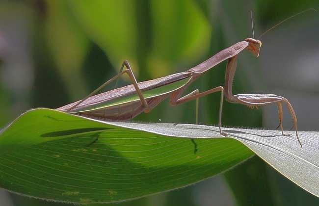 螳螂吃什么食物