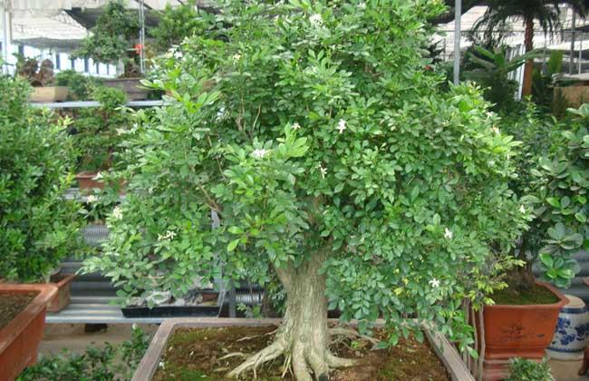 九里香盆景的制作和养护
