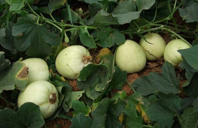 白兰瓜大棚栽培技术