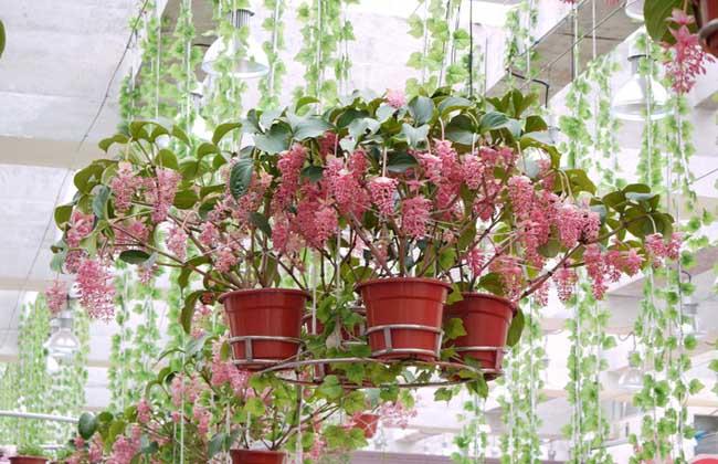 宝莲花养殖方法