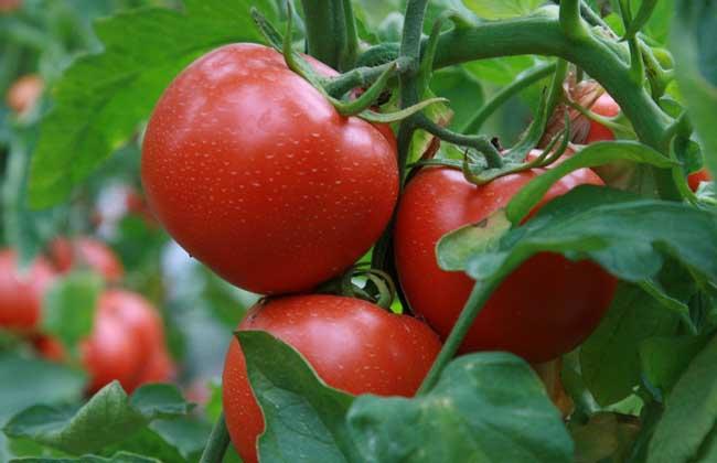 番茄白粉病防治技术