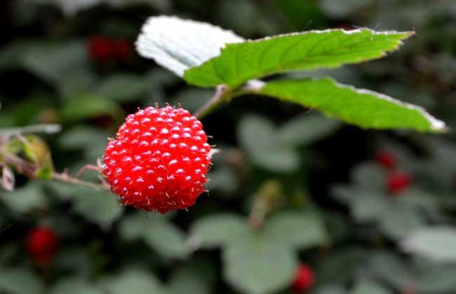 树莓高产种植技术