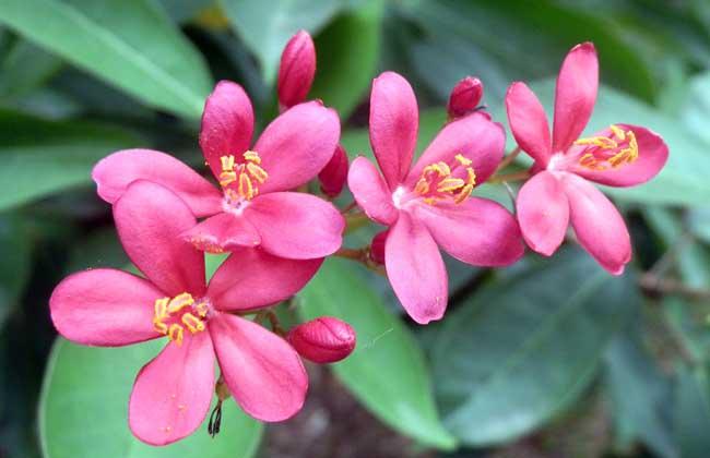 夹竹桃的养殖方法