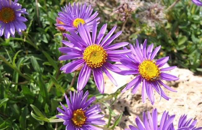 蜜紫菀的功效与作用