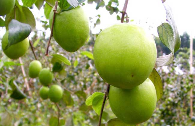 青枣高产种植技术