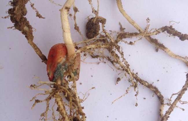 玉米苗枯病