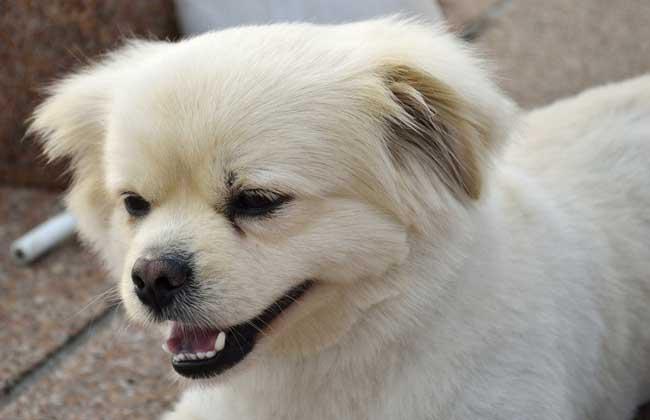 北京犬多少钱一只?