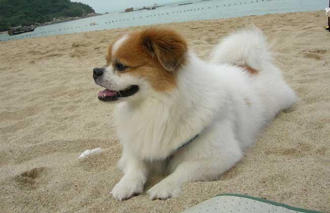 中国狮子狗图片