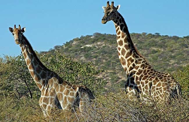 长颈鹿安哥拉亚种