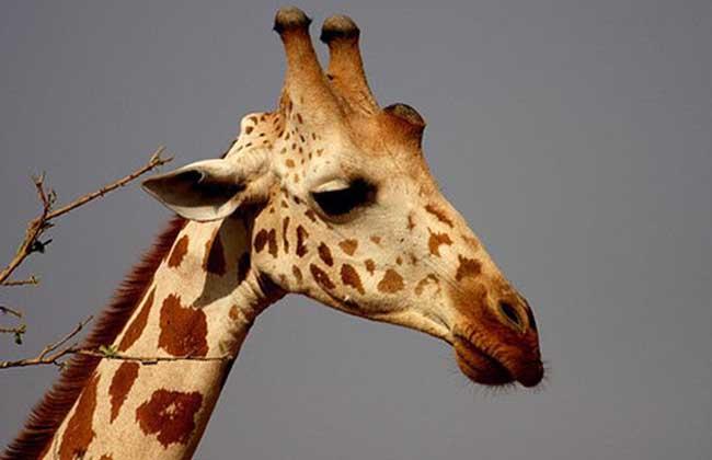 长颈鹿科尔多凡亚种