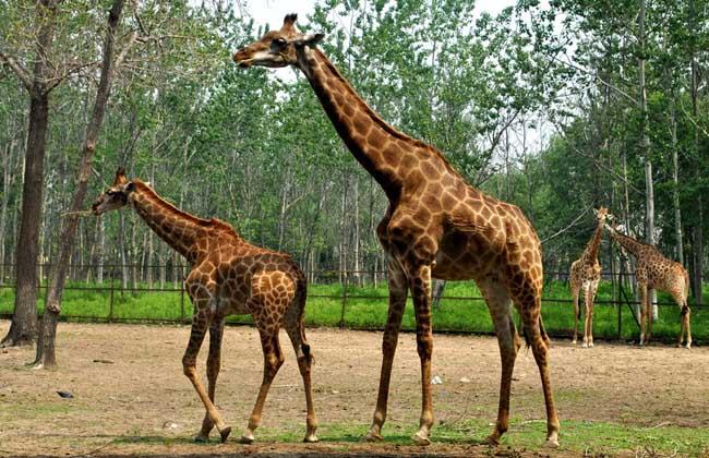 长颈鹿指名亚种