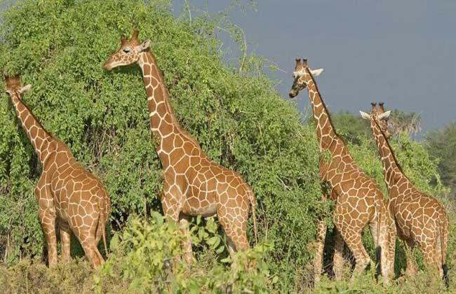 长颈鹿南非亚种