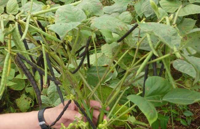 绿豆栽培技术