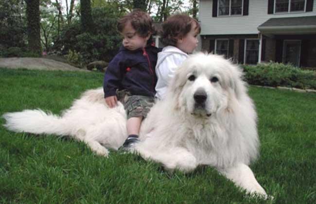 大白熊犬价格多少钱