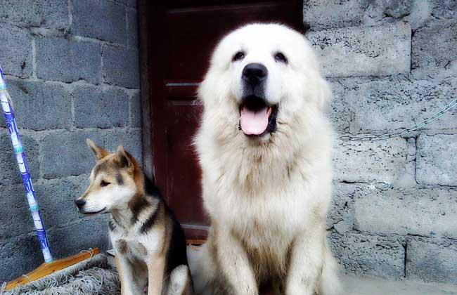 大白熊犬图片