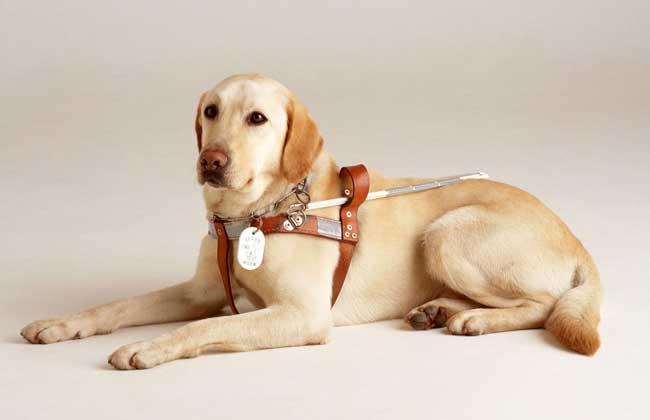 导盲犬是什么狗?