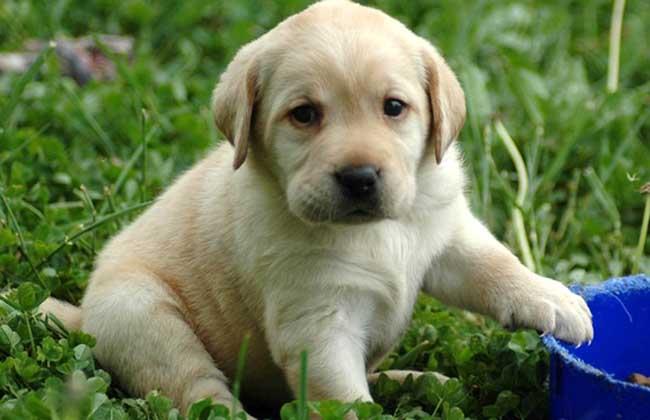 导盲犬小Q是什么狗?