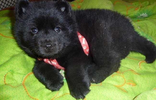 黑熊犬价格多少钱一只