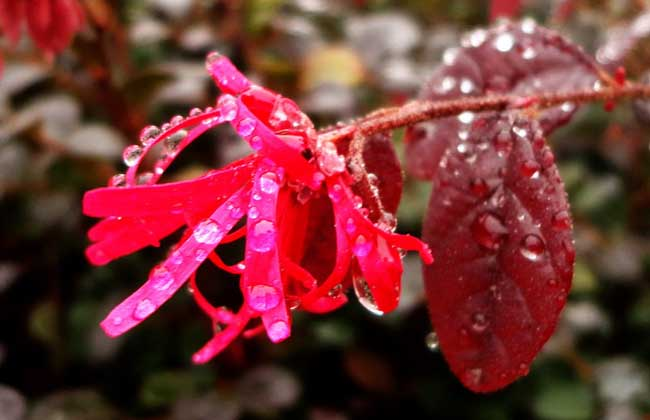红花继木的养殖方法