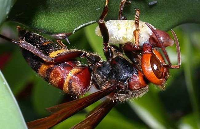 虎头蜂的生活环境(虎头蜂的生活方式)
