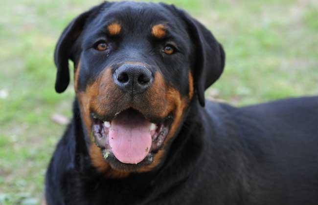 罗威纳犬怎么训练?