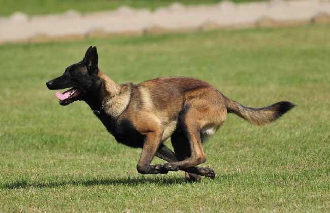 马犬的训练方法