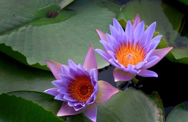 睡莲的花语和传说