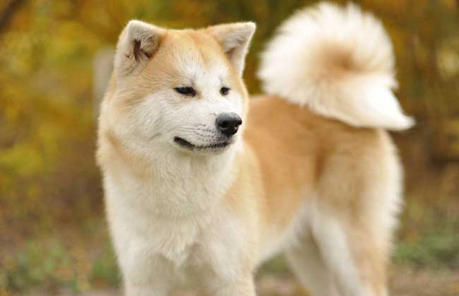 日本秋田犬多少钱一只?