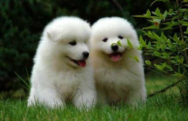 萨摩耶犬多少钱一只