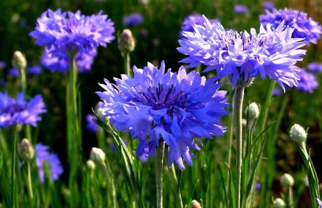 矢车菊的花语和传说